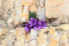 Morettiana porpora della campanula del bellflower della dolomia del fiore del fiore in crepa della roccia della montagna, Tirolo  Fotografia Stock
