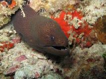 morey eel стоковое изображение