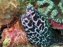 Morey eel Royalty Free Stock Photography