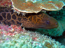 Morey eel. Cororful scene of Morey eel hiding behind the corals Royalty Free Stock Photography