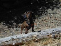 Morgan The Doxie. Young Dachshund in the woods stock photo