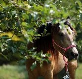 Morgan mare eating apples under tree. Horse eating apples under big tree in summer rural animal farm summertime royalty free stock photos