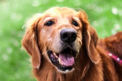 Morgan o golden retriever imagem de stock