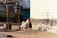 Morgen auf dem Bauernhof Stockbilder