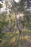 Morgen in einem Birkenwald Stockbild