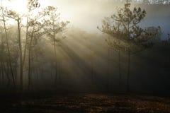 Morgen in einem Kieferwald lizenzfreies stockfoto