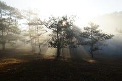Morgen in einem Kieferwald stockfoto