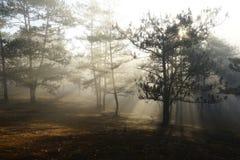 Morgen in einem Kieferwald stockbilder