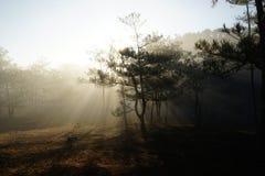 Morgen in einem Kieferwald lizenzfreies stockbild