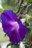 Morgen Glory Flower Lizenzfreies Stockfoto