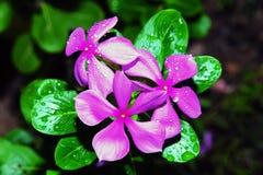 Morgen Glory Flower stockbilder