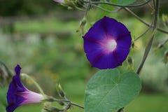 Morgen Glory Flower Stockfotografie
