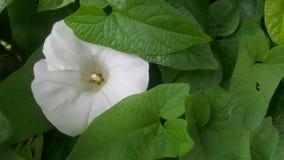 Morgen Glory Flowers u. x28; peekaboo& x29; Lizenzfreies Stockbild