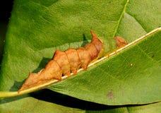 Morgen Glory Prominent Caterpillar Lizenzfreies Stockfoto
