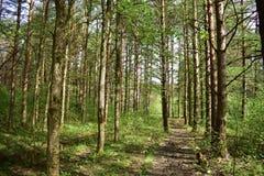 Morgen im Kiefernwald in der Sommerzeit im Wald ist das wirkliche die Anmut wert lizenzfreies stockfoto