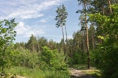 Morgen im Kiefernwald im Sommer Lizenzfreie Stockfotos