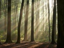 Morgen im nebelhaften Wald   Lizenzfreies Stockbild