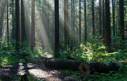 Morgen im tiefen Wald Stockbild