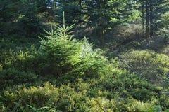 Morgen im Wald in Österreich lizenzfreies stockfoto
