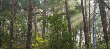 Morgen im Wald Stockbilder