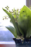 Morgen Lily-of-the-valley Stockbild