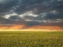 Morgen-Mais-Feld Lizenzfreie Stockfotos