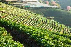 Morgen am schönen Erdbeerbauernhof Stockfoto