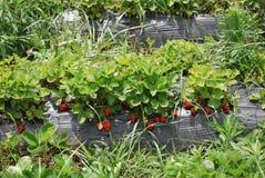 Morgen am schönen Erdbeerbauernhof Stockbilder
