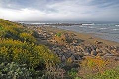 Morgen-Seelefanten Stockfoto
