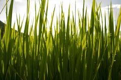 Morgen-Tau auf dem Reis-Gebiet Stockbilder
