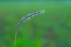 Morgen-Tau-Tropfen auf Körnern des wilden Grases Stockfoto