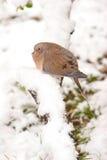 Morgen-Taube, welche die Kälte aushält Lizenzfreie Stockfotografie