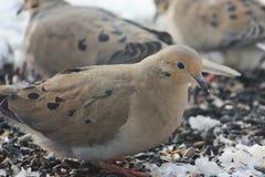 Morgen-Tauben, die nach Samen suchen Lizenzfreie Stockfotos