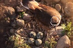 Morgen-Wächter des Nestes Stockbilder