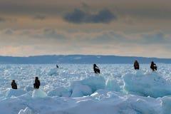 Morgeneislandschaft mit Adlern Drei Adler auf Eis Widlife Japan Steller-` s Seeadler, Haliaeetus pelagicus, Vogel mit Fang Lizenzfreie Stockbilder