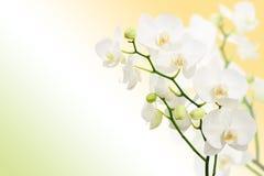 Morgenfrühlingshintergrund mit Niederlassungen von Orchideen Lizenzfreie Stockfotos