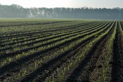 Morgenfrühlingslandschaft mit eben gepflogenem Feld mit jungen Mais sprounts, Ackerland in den Niederlanden, Europa lizenzfreie stockfotografie