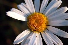 Morgengänseblümchen Stockbild