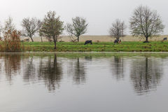 Morgenlandschaft mit Kühen Lizenzfreie Stockfotografie