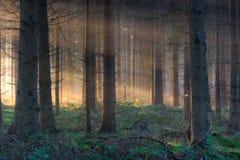 Morgenleuchte im Wald Stockbilder