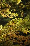 Morgenlicht auf Fall-Blättern Stockbilder