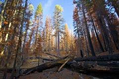 Morgenlicht auf gebrannten Bäumen nach verheerendem Feuer, Nationalpark Lassens stockfotos