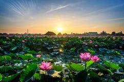 Morgenlotosblume stockbild