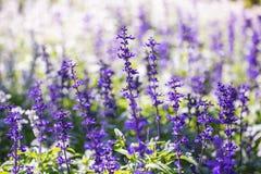 Morgens blühende Lavendelblume, purpurrotes Licht der Blume Lizenzfreies Stockfoto