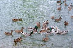 Morgens flattern die Enten im See Stockbilder