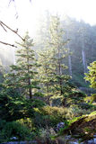 Morgensonne auf Wald des alten Wachstums Stockbild
