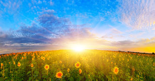Morgensonnenblumenfeld Lizenzfreies Stockfoto
