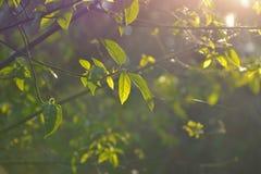 Morgensonnenglanz auf dem Baum Lizenzfreie Stockfotos