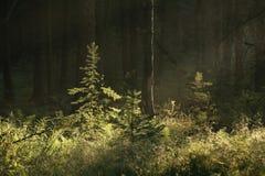 Morgensonnenstrahl im Sommerwald stockfotos