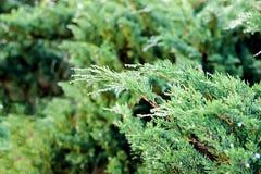 Morgentau auf den immergrünen Blättern des Wacholderbusches Lizenzfreies Stockfoto